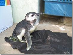 Pinguim encontrado na praia de Maricá